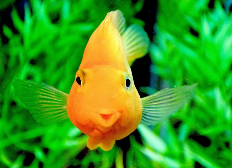 """Goldfish in large aquarium is """"kissing the glass"""" . The green vegetation forms a good """"bokeh"""" with its plain colorful contrasting background"""