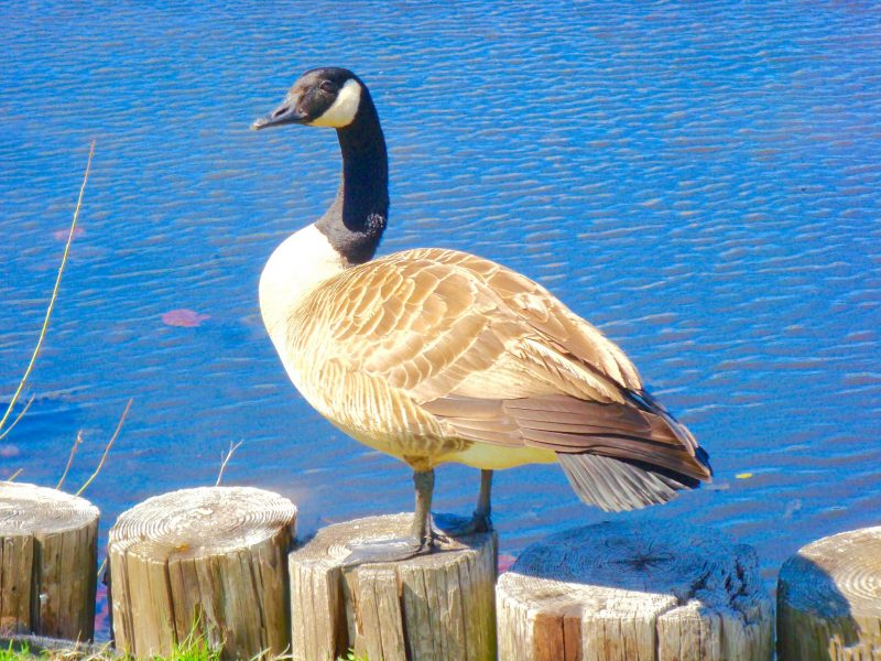 Canadian goose on waterfront log pilings. Taken with telephoto at 100 mm as he stands in front of the Cape May Point lakefront.