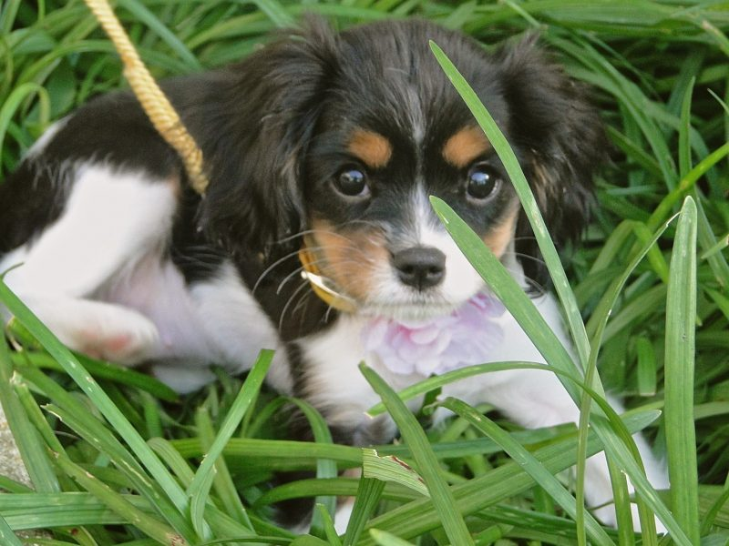 """Splendor in the grass""! King Charles spaniel puppy is 4 months old ""Lovie"". The green fronds in front of her face adds to the foreground/background of this pet portrait. A year later"