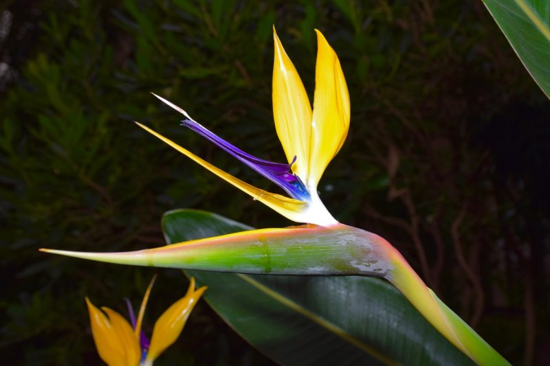 Bird of paradise flower close-up at Longwood Gardens. The detail in this 140 mm closeup was enhanced by flash